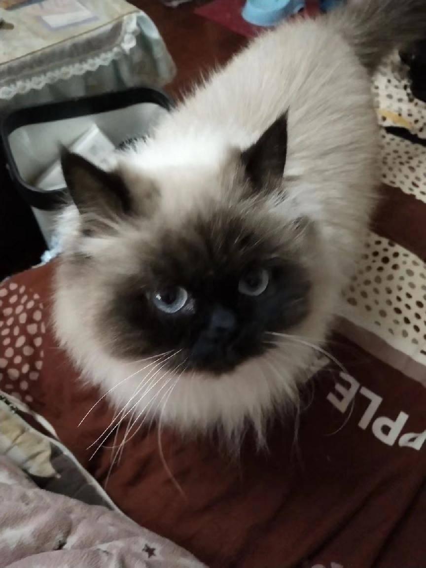 喜马拉雅猫性格温顺颜值高